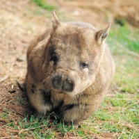 Photo of Southern hairy nosed wombat